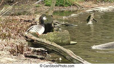 Bar-headed goose, Anser indicus, single bird near the autumn...