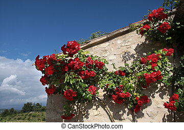 Climbing roses on an old house in the village of Villars in...