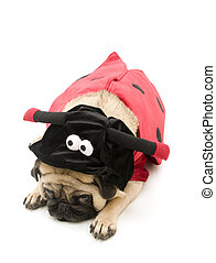 Tired Lady Bug Pug Isolated on a White Background.