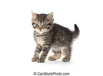Scared kitten with arched back - A small kitten arches its...