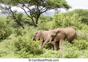 Elephants, Lake Manyara, Tanzania - Elephants in Lake...