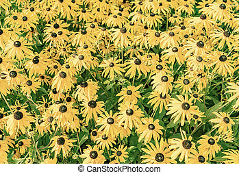 yellow cut leaved coneflower prospers in the flower bed