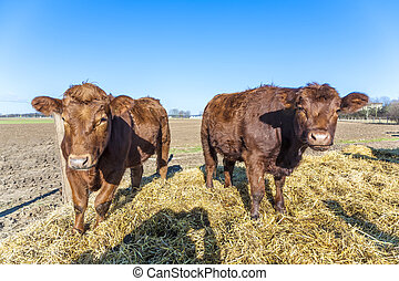 friendly cattles on straw with blue sky