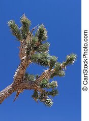 Joshua Tree (Yucca brevifolia) - Leaves of a Joshua Tree...