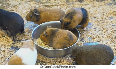 Guinea Pigs in the petting Zoo.