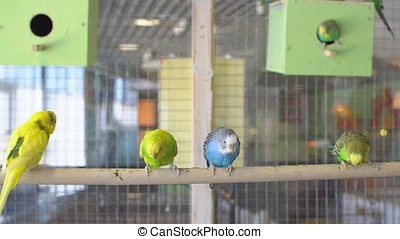 Budgies in the petting Zoo.