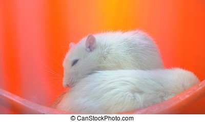 White Mouse in The Petting Zoo.