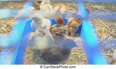 Little Chicks in the Petting Zoo.