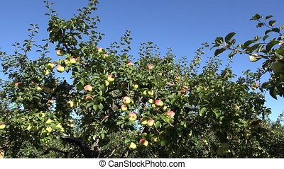 apple tree with fruit in orchard at harvest time. 4K - apple...