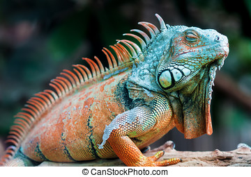 Sleeping dragon - Green iguana - Sleeping dragon - Close-up...