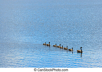 Goose, Gander and Goslings Swimming in Single File