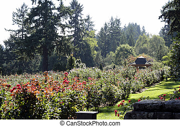 Portland Rose Garden - Many colorful rose flowers blooming...