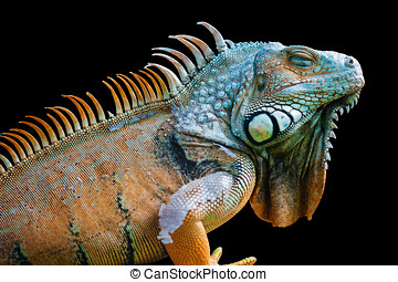 Sleeping dragon - Green iguana isolated on black - Sleeping...