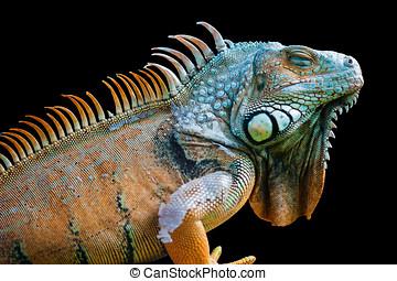 Sleeping dragon - Green iguana isolated on black - Sleeping...