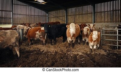 Cows In Cattle Shed - Group of cows in cattle shed