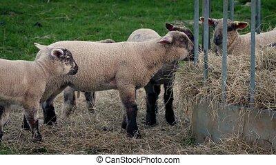 Lambs Eating At Feeder - Lamb walks over to feeder and eats...