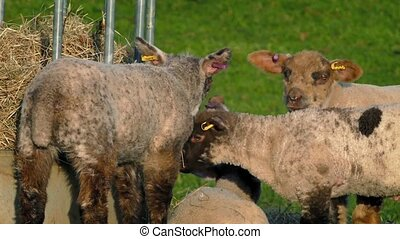 Lambs Eating Hay At Feeder In The Evening - Lambs jostle for...