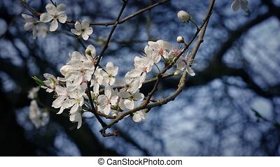 Cherry Blossoms In Gentle Breeze - Cherry blossoms in bloom...