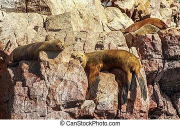 Four seals sleeping on the rocks at Ballestas island,...