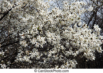 White Magnolia flowers - Beautiful white Magnolia flowers on...