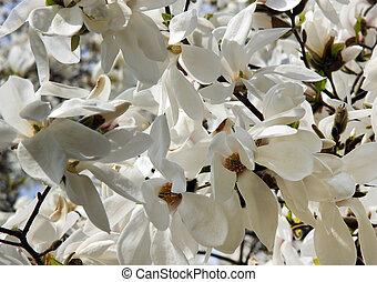 White Magnolia flower - Beautiful white Magnolia flower on a...