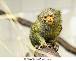 In front of a pygmy marmoset - Young pygmy marmoset -...