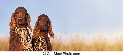 Funny dog love banner - Website banner of funny Irish Setter...
