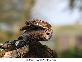 Tawny Owl - Portrait of a Tawny Owl about to take off on a...