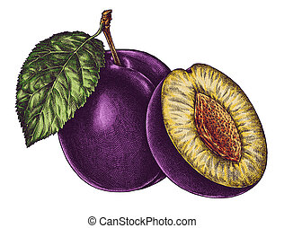 Engrave isolated plum hand drawn graphic illustration -...