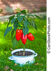 The pot of red pepper - The red pepper growing from a pan
