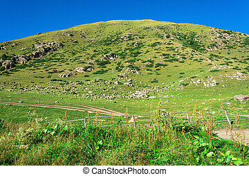 A large flock of sheep on the hillside, Kyrgyzstan.