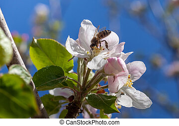 Pink and white apple blossom buds with bee.