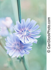 Chicory flower in nature - Chicory blue flower blooming in...