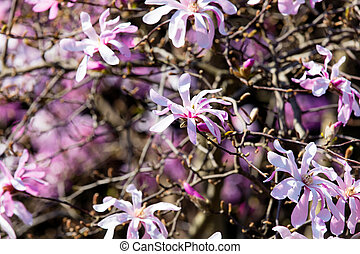 Blossom Magnolia Soulangeana tree in spring time in the...
