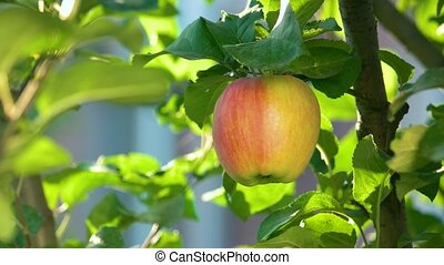 Apple on the branch. Fruit and green leaves. Tips for...