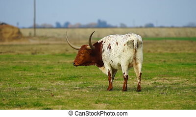 Texas Longhorn Bull Steer Grazing Looking Ranch Animal...