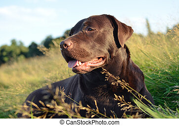 labrador in a grass at sunset