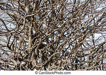 Twisty branches of a tree after pruning in early spring...