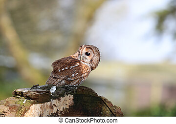 Tawny Owl - Portrait of a Tawny Owl perched on a tree stump...