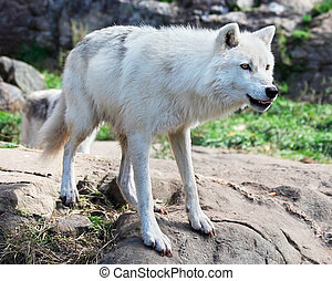 Young Arctic Wolf Standing on Rocks - A young arctic wolf is...
