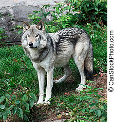 Gray Wolf - A gray wolf is standing and looking ahead