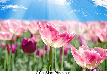 Field with pink tulips on blue sky background