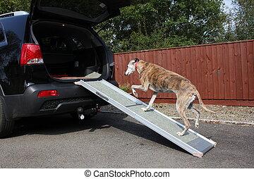 Dog walking up ramp into car - dog walking up ramp into car