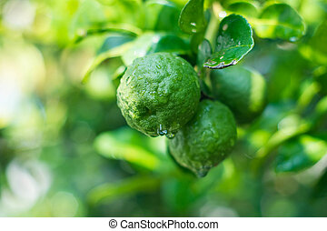 Bergamot - Closed up begamot on the branch has a leaf in the...
