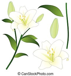 Lilium candidum, the Madonna lily or White Lily. National...