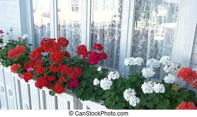 Flowers near house window. White and red petunias. Aroma of...