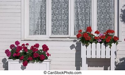 Flowers outside house window. Bright colored petunias....