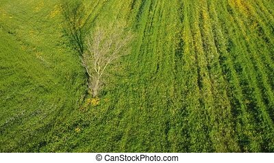 Tree as point of interest on green grass field - Aerial view...