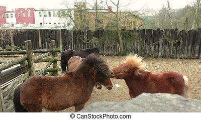 Two small brown pony's playing with each other