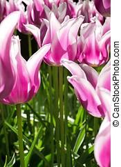 tulip 'Ballade' - lily flowered tulip (variety 'Ballade')